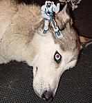 Illinois G.I. Joe Sightings-serpvsdog.jpg