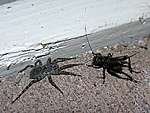 Wolf Spider in your home?-rw-spider-cricket-large.jpg
